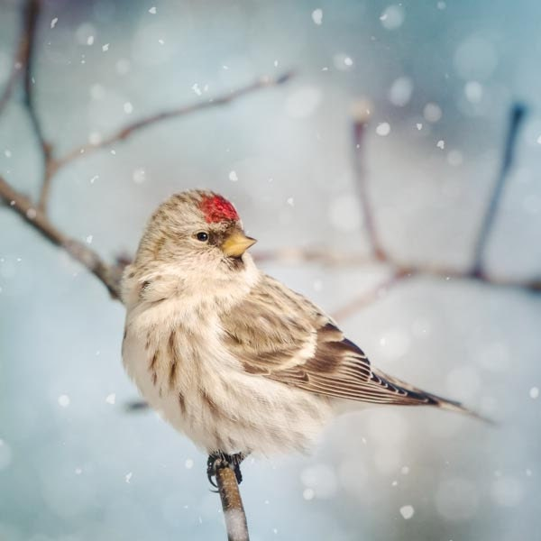 Winter Photography, Winter Art, Bird Photography, Snow, Redpoll, Bird Art, Winter Wall Art, Fine Art Print, 5x5 8x8 10x10 12x12 or 16x16 - RockyTopPrintShop
