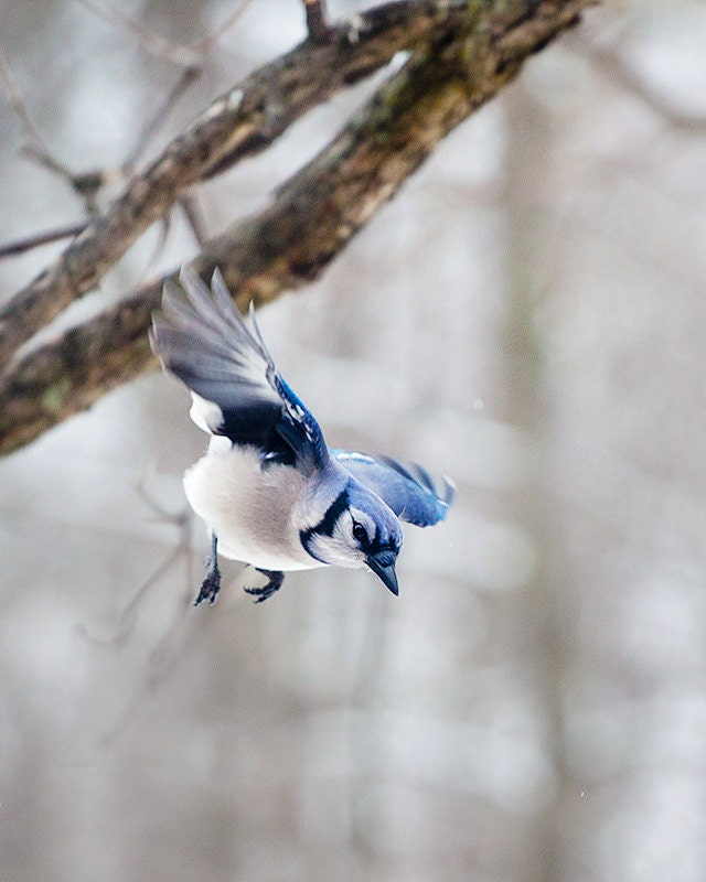 Blue Jay: The Art of Staying Aloft No 29  (Cyanocitta cristata) - SmallMysteries