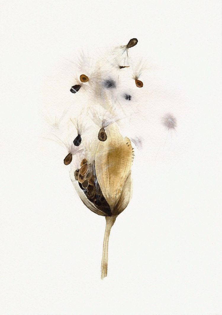 Milkweed Pod- Botanical Archival print of original Watercolor, botanical art - amberalexander