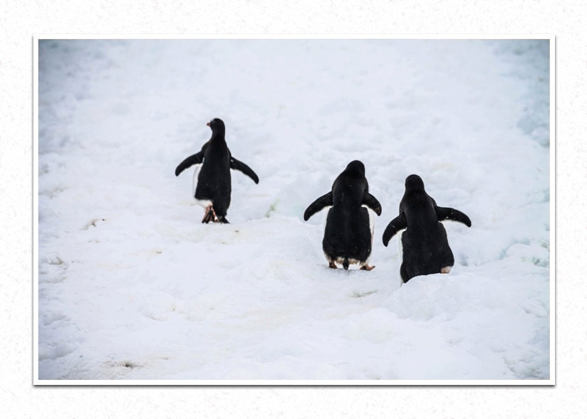Antarctic Threesome, Antarctica, Penguins, Nature Photography, Fine Art Photography, Home Decor - SummitsPhotography
