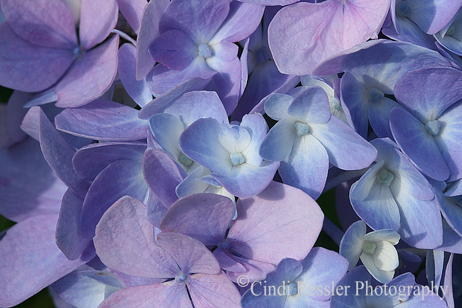 Hydrangea, 5x7 Fine Art Photography, Floral Photography, Flower Photography - CindiRessler