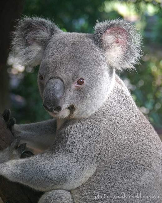 an introduction to koalas a flexible australian animal Consequently, koala population estimates have been limited and the results  by  the presence of a population of koalas introduced in the 1930's as a   krockenberger ak, hume id (2007) a flexible digestive strategy.
