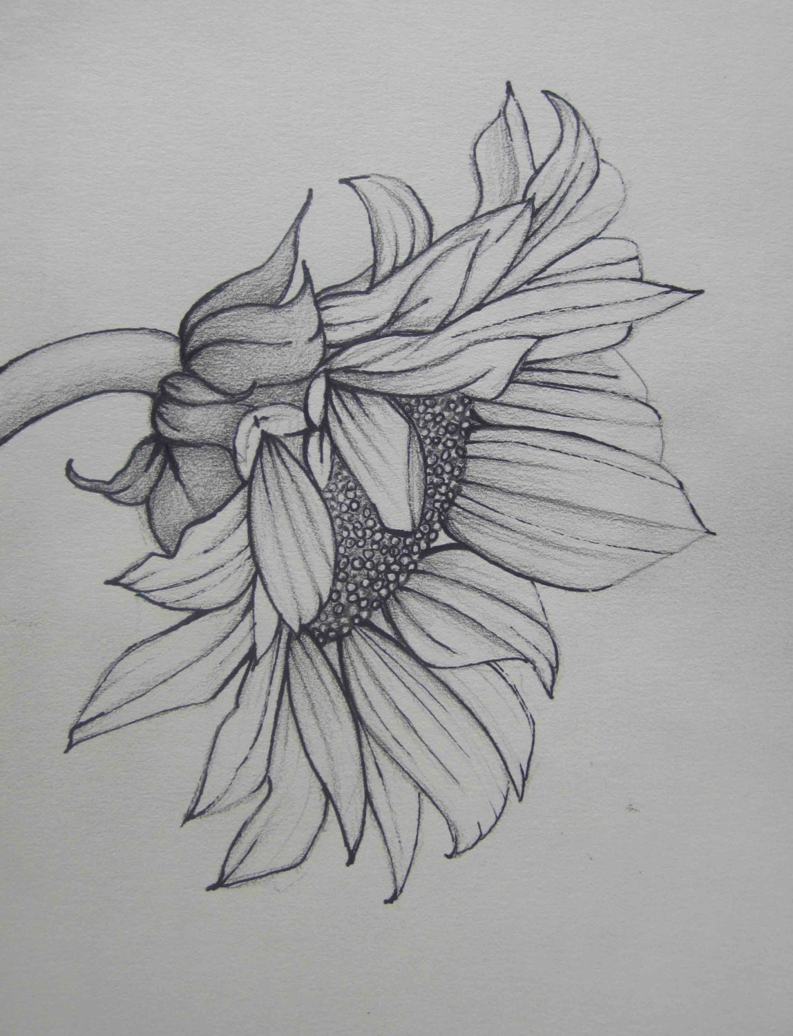Drawings Of Sunflowers In Pencil Pencil Drawings: Penci...