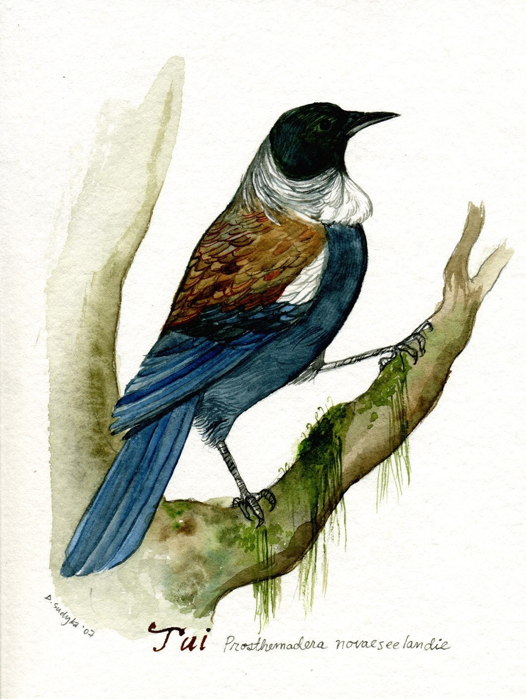 Tui New Zealand Bird Original Watercolor Painting By