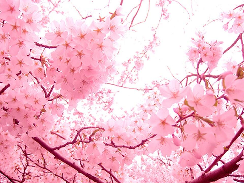 Spring Blossoms in Pink Nature photography PRINT 20x16 large - natashataylesart
