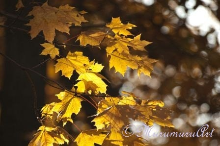 "Golden Leaves, Yellow Autumn Forest, Gold Sycamore, Fine Art Photography, 12x7.88"" - MurumuruArt"