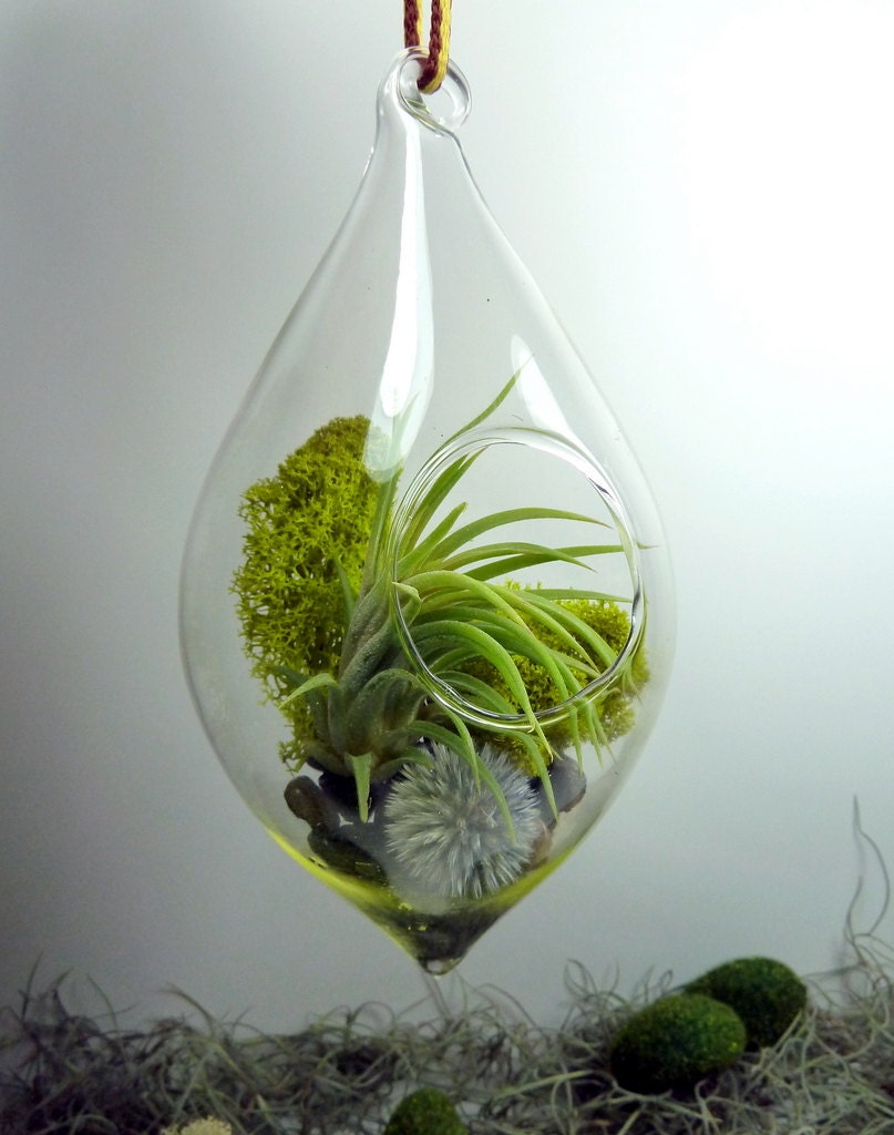 Hanging Teardrop Air Plant Terrarium, Glass, and Lichen. Great for ...