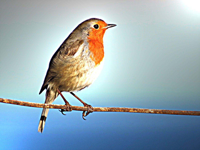 Bird Nature Photography. Blue Orange European Robin.  Picture Print  Bird on Wire II.  Blue, Orange, White. - CandyMountainPhotos