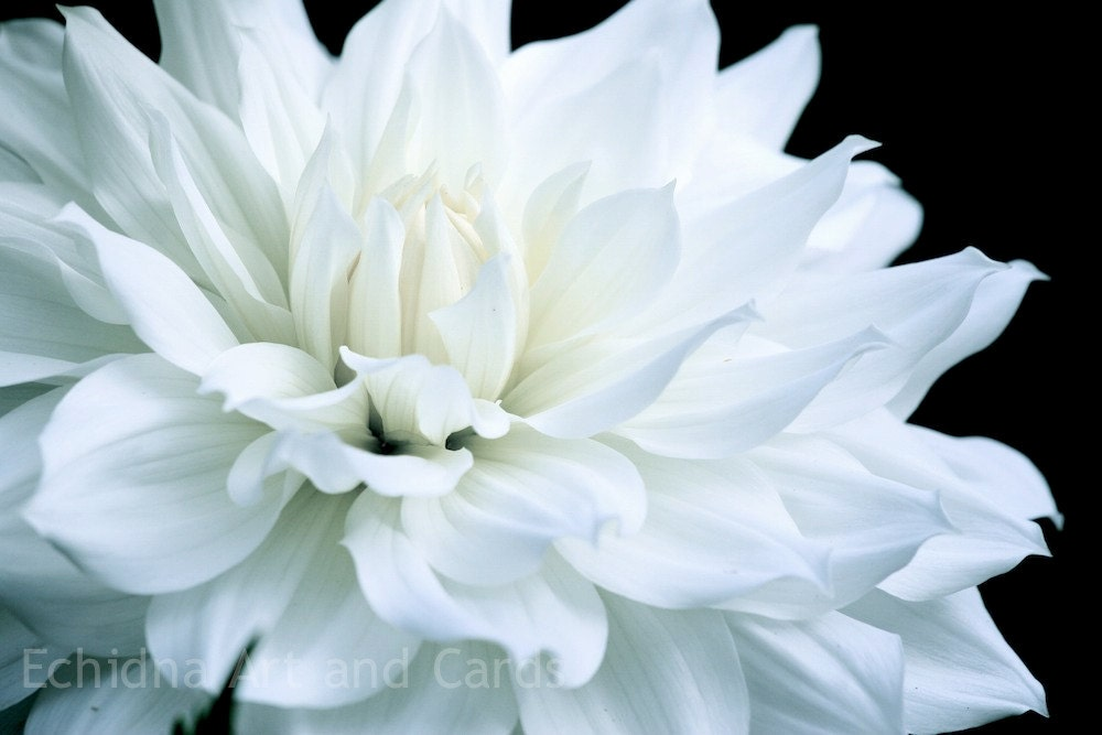 Dahlia Photography, Choice of 3 Styles, 8x12 Modern Home Decor - EchidnaArtandCards