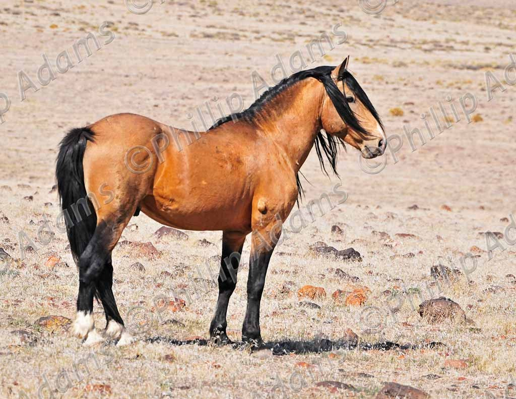 Golden bay horse