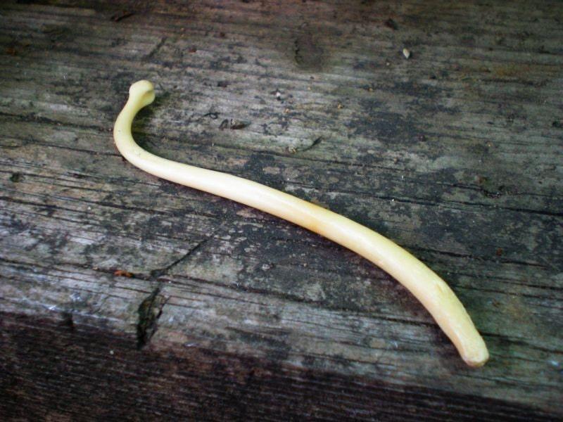Racoon Penis Bone 44