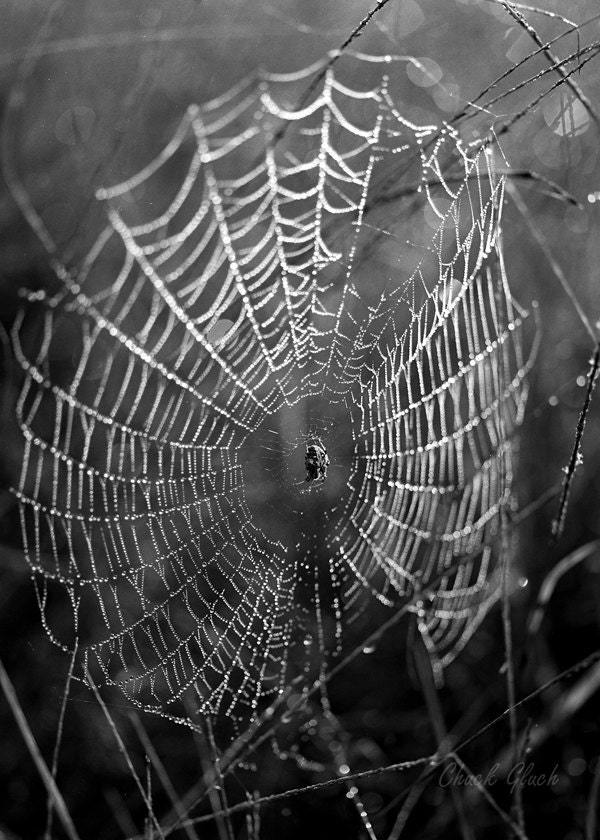 Spider, Spider Web, Photo of Spider, Photo of Spider Web, Black and White Photo, Large Spider, Spider Web in the Morning, Spider Art Photo - ChuckGluchPhotoArt