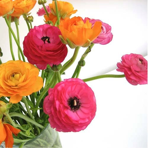 Flower photograph - Ranunculus - Pink and Orange -  Signed 3x3  inch  mini print - starrybluesky