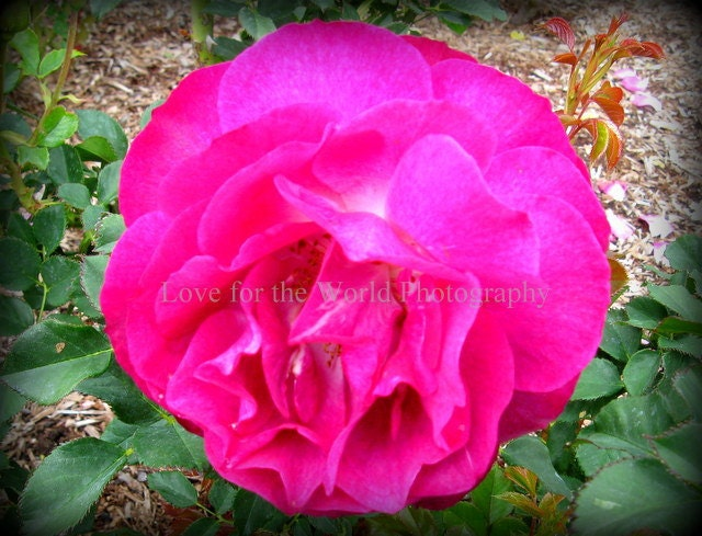 Sale Save 25% Hot Pink Rose - 8x10 Photograph, Additional sizes and canvas options are available, see below for details. - Lovefortheworld