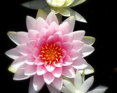 3 Hardy Water Lily Plants-Colors Unknown Shipping Mid March 2012