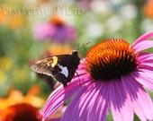 Butterfly on Flower - 5 x 7 Photograph