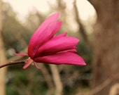 Magenta Magnolia: floral fine art photograph print of bright pink flower with gray and brown bokeh in nature garden - UninventedColors