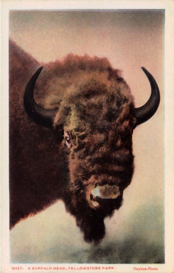 Vintage Wyoming Postcard - A Buffalo in Yellowstone National Park (Unused)