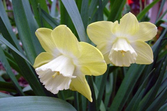 Narcissus Print