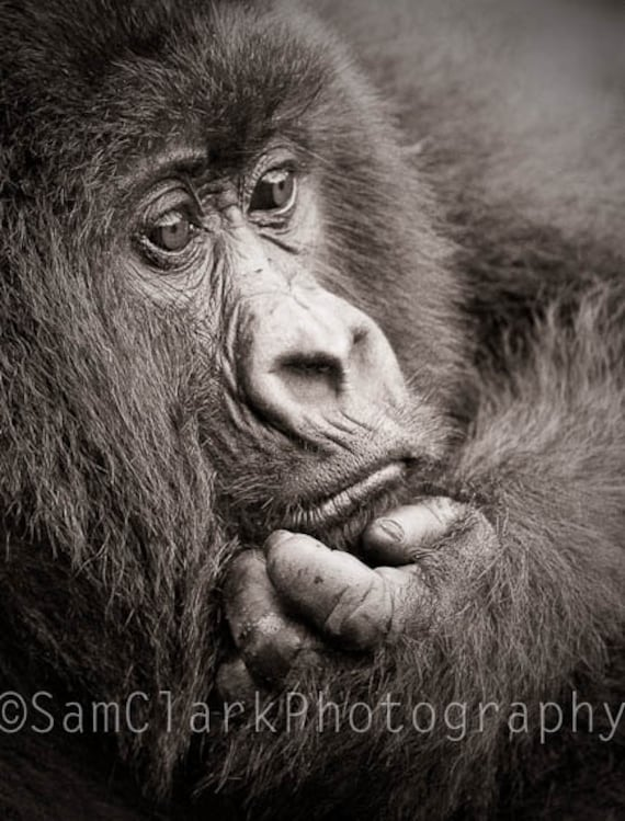 African Gorilla Photo - Wall Art - Nursery Art -  8x10 inch Gorilla Photo, Nature Photography, sepia, gift
