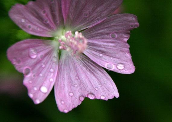 Delicate Pink Rain Flower - An 8x10 Photography Print - Rain drops on the pretty pink petals - affordable art- nursery art