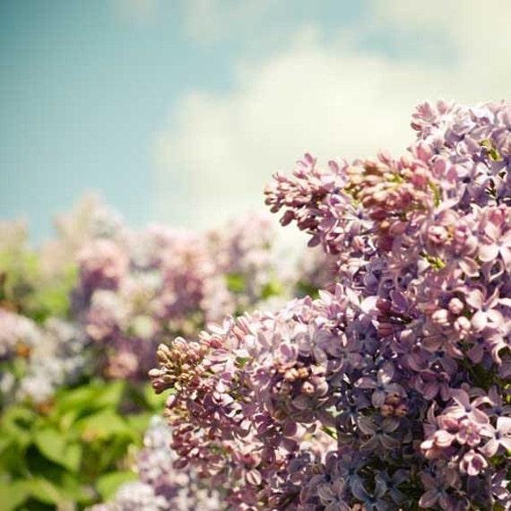Ароматная сирень.  Весна фиолетовый lavendar сирени небесно-голубого цвета голубого неба сад роман винтажном стиле 5x5 или 5x7 Fine Print художественной фотографии